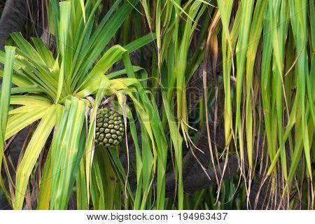 The common screwpine (Pandanus utilis) and fruit