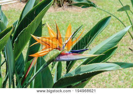Bird of Paradise (Strelitzia) plant in flower