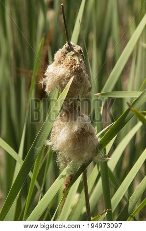 A Cattail in the blooming stage in the Goose Neck State Park in the state of North Carolina