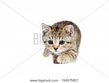 Playful kitten Scottish Straight, isolated on white background