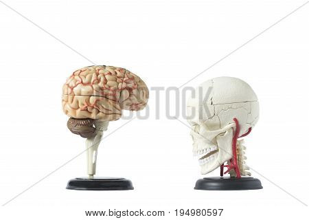 Artificial human skull model isolated from background with clipping path side view