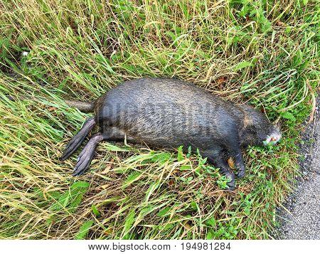Dead adult coypu (Myocastor coypus), killed on road