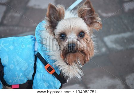 little furry dog jumpsuit for Pets for a walk