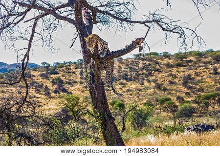 Travel to Namibia. Leopard feeding. An African spotted leopard climbed a tree. The pieces of meat for him are laid out on the branches. The concept of exotic and extreme tourism
