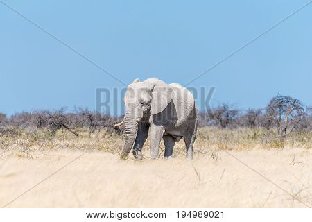 A white African elephant Loxodonta africana browsing on a thorn shrub in Northern Namibia. It is covered with white calcrete dust