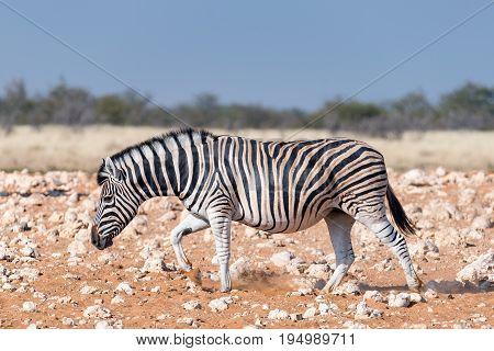 A pregnant Burchells zebra mare Equus quagga burchellii walking in red sand in Northern Namibia