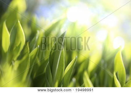 Macro of green leaves of lilies of the valley with bright background poster
