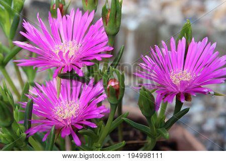 beach thistle, pink, summer, hipp, chic, trend, garden, rockery