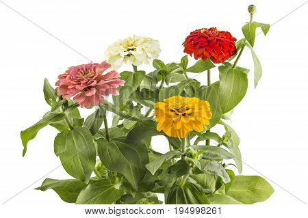 Beautiful pink, yellow, white and red zinnia fowerheads, Zinnia Elegans, in flower pot with green leaves. Close up view of zinnia flowers