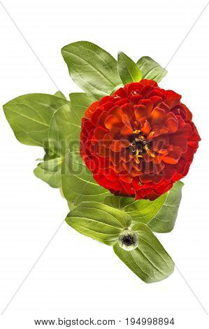 Red zinnia flower, Zinnia Elegans, in flower pot with green leaves. Close up view of zinnia flowers