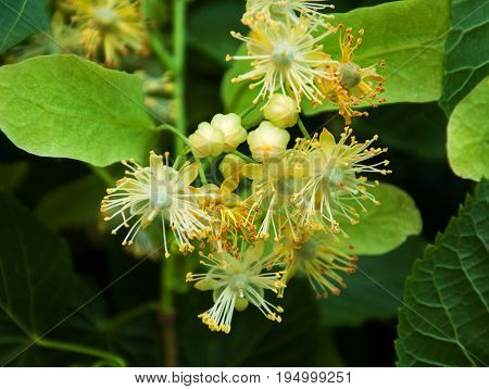 Fresh linden flowers on the tree - nature background