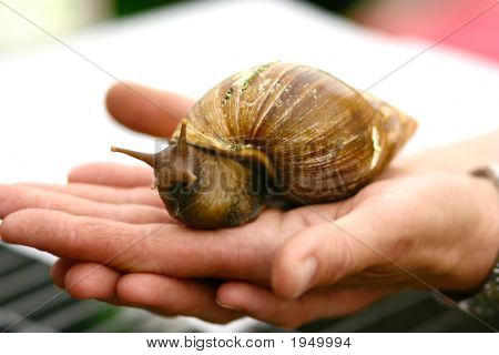 Giant Garden Snail On Display At Village Show