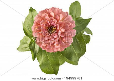 Pink zinnia flower, Zinnia Elegans, in flower pot with green leaves. Close up view of zinnia flowers