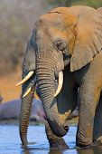 African Elephant : Loxodonta Africana : South Africa poster