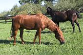 two tennessee horses in pasture poster
