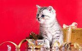 British kitten poster