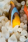 Anemone fish laying eggs - a series of UNDERWATER IMAGES. poster