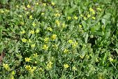 Bright yellow flowers of the bur buttercup poster
