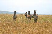 Four zebras looking at the camera Serengeti national park Tanzania. poster