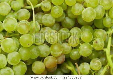 Close Up Of Ripe White Grapes. Close Up
