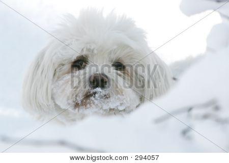 Maltese Dog In Snow
