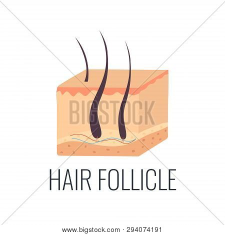 Hair Follicle Illustration. Skin Structure. Beauty Concept