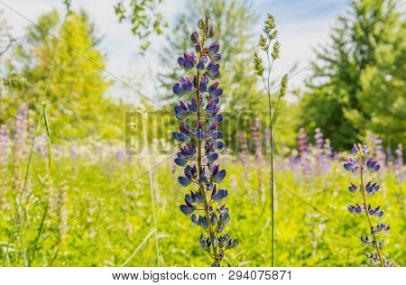 Closeup Shot Of Blue Lupin (lupinus Polyphyllus, Bluebonnet) Blooming In The Field