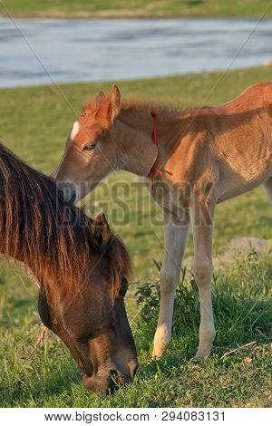 Young Foal With His Mother In A Spring Field