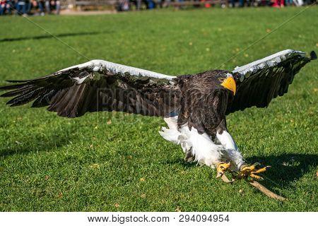 The Stellers Sea Eagle, Haliaeetus Pelagicus S A Large Bird Of Prey