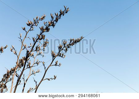 Delicate Coastal Reeds With Flowers, Growing At San Francisco Bay Front, With A Blue Sky Background