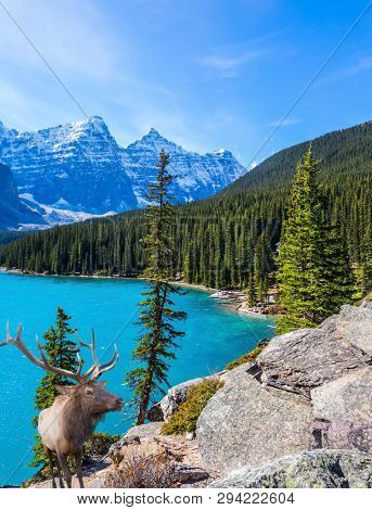 Magnificent red deer with horns on high bank of Moraine Lake. Canadian Rockies, Province of Alberta. The concept of ecological, photographic and active tourism