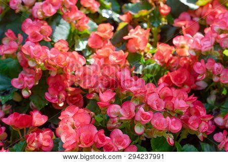 Numerous Bright Flowers Of Tuberous Begonias (begonia Tuberhybrida) In Garden. Spring Time
