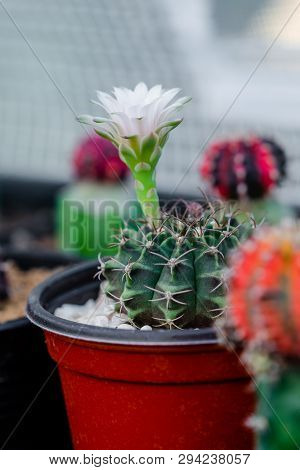 Close Up Flower Of Gymnocalycium Mihanovichii Cactus