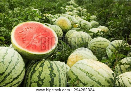 Red Cut Watermelon On A Pile Of Ripe Watermelons In A Field.
