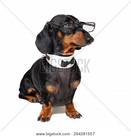 30d51fe612fb Intelligent Dog Dachshund With Glasses