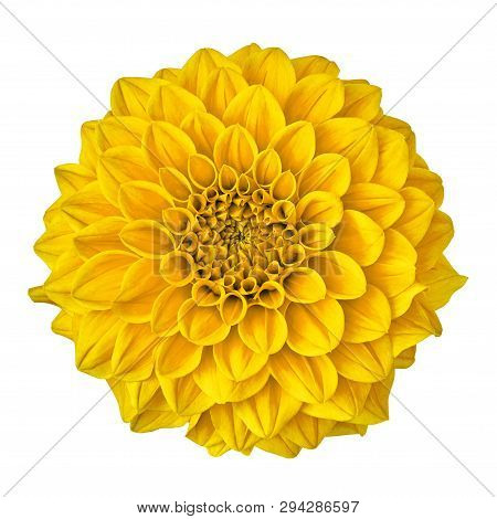 Flower Yellow Dahlia Isolated On White Background With Clipping Path. Close-up. Nature.