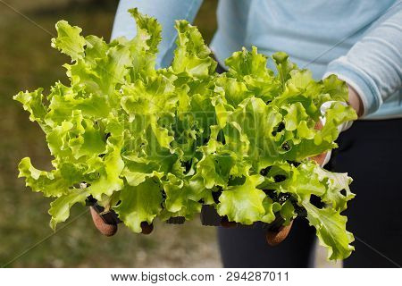 Organic Lettuce Seedlings Collection Prepared To Be Planted On The Garden. Gardening, Healthy  And H