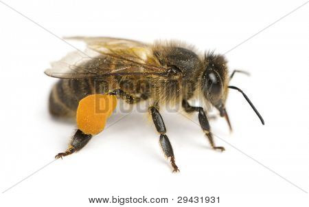 Western honey bee or European honey bee, Apis mellifera, carrying pollen, in front of white background