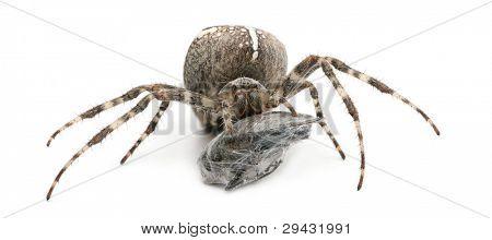European garden spider, diadem spider, cross spider, or cross orbweaver, Araneus diadematus, eating a fly in front of white background