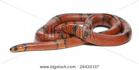 Hypomelanistic aberrant Honduran milk snake, Lampropeltis triangulum hondurensis, in front of white background poster