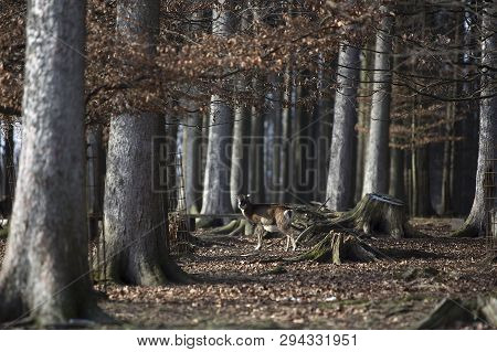 Forest Trees With A Moufflon Female, Wintertime