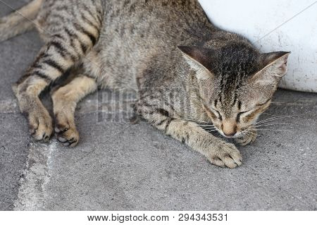 Thai Roan Cats Are Lying On The Concrete Road.