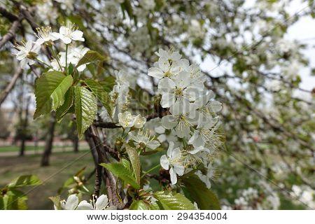Prunus Cerasus In Full Bloom In Spring