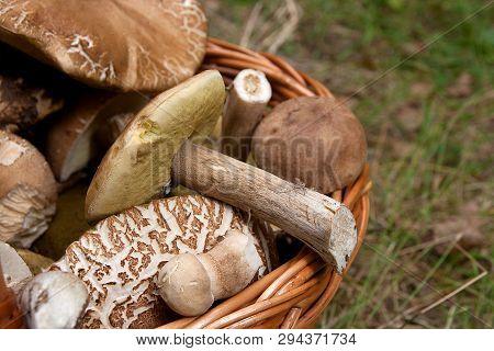 Porcini Mushrooms (boletus Edulis, Cep, Penny Bun, Porcino Or King Bolete) In The Wicker Basket On N