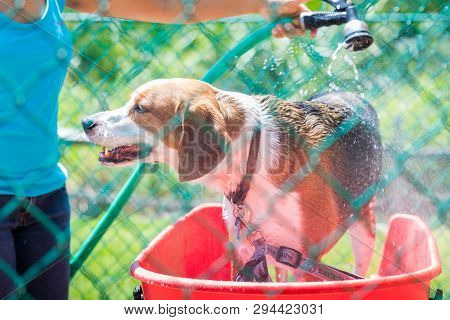 A beagle mix hound is having a bath outdoors. This beagle boy is getting a good soak before his shampoo. poster