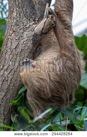 Two-toed sloth, Choloepus didactylus, hanging in a tree. This nocturnal and arboreal species is indigenous to South America.