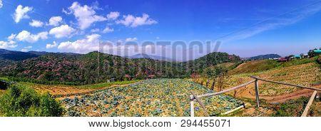 Cabbage Farm At Phu Thap Boek, Petchabun, Thailand With Cherry Blossom (sakura) In The Background. P