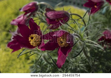 Rare Beautiful Burgundy Purple Spring Forest And Garden Flowers Anemones In The Morning Garden On A
