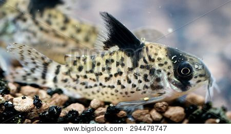 A Close Up Of An Armored Catfish In The Aquarium