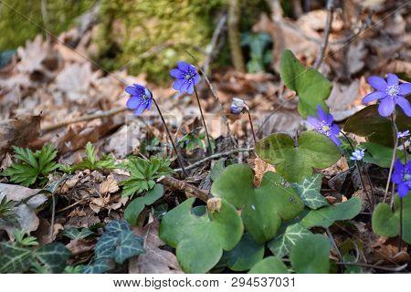 Beautiful Springtime Ground With Sunlit Blue Anemones